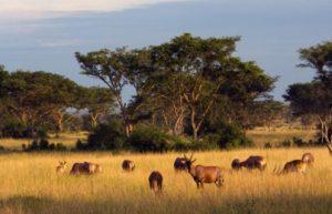 Topi in the sun in Queen Elizabeth National Park, Uganda